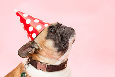 Pug in a party hat as an example of day-to-day lifestyle services